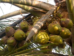 coconut_charcoal