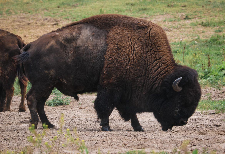 cooking Bison
